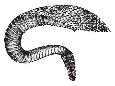 Coda di serpente a sonagli creata quando più sonagli vibrano l'uno contro l'altro e i piccoli serpenti nascono con solo un piccolo nocciolo all'estremità della coda, disegno dell'annata o illustrazione incisione.