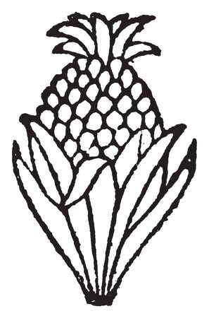 A picture showing a doodad resembling a Pineapple. A sweet, yellow fruit resembling a pine cone, vintage line drawing or engraving illustration. Stock Illustratie