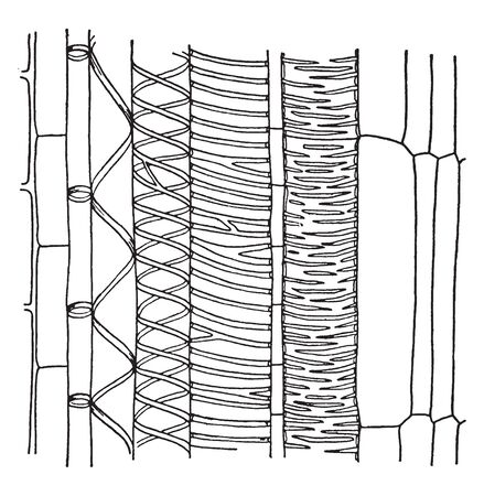 This picture showing a xylem. It is internal part of plant, vintage line drawing or engraving illustration.