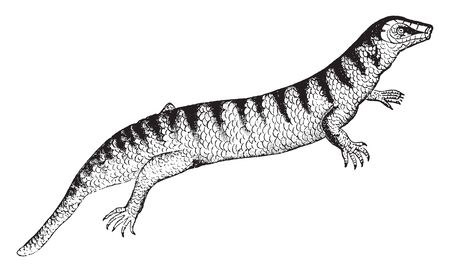 Skink is common in Egypt and can reach 8 to 9 inches, vintage line drawing or engraving illustration.