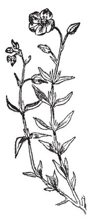 This pictures showing a rock rose pant. They have showy 5 petals flowers. The stem and leaves are thorny and sharp. This is form Cistaceae family, vintage line drawing or engraving illustration.