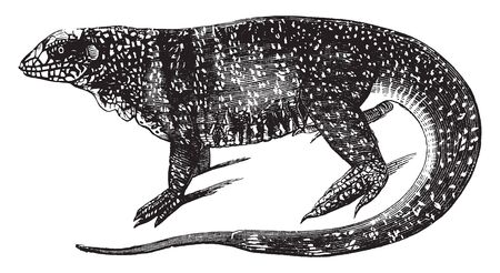 Variegated lizard is an agamid lizard found in northern India, vintage line drawing or engraving illustration. Illustration