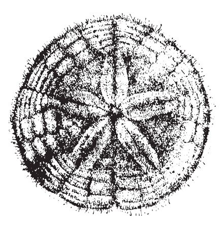 Sand dollar is the name given to a flattened looking sea urchin very common on sandy shores, vintage line drawing or engraving illustration. Ilustração