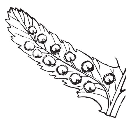 A picture shows Shield-Fern. It has row of fruit-dots on each side of the midrib of its leaves. Each fruit is covered by its kidney shaped indusium, vintage line drawing or engraving illustration.