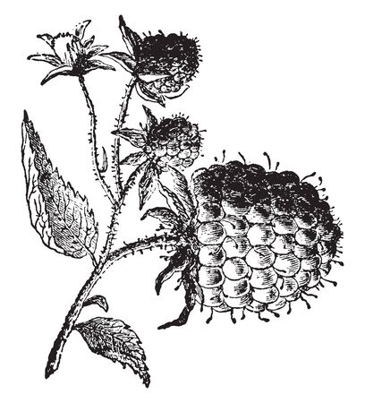 A picture showing a branch with Raspberry fruit hanging on it, vintage line drawing or engraving illustration.
