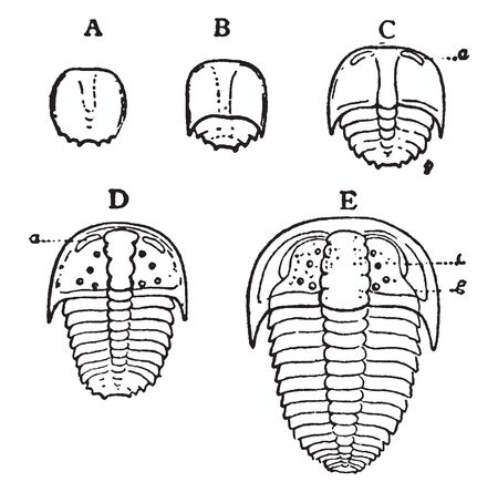 Sao Hirsuto in which older stage with distinct pygidial carapace, vintage line drawing or engraving illustration.