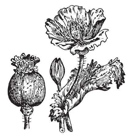 The picture is of a flower and fruit of Opium poppy, also known as bread seed poppy and papaver somniferum. It is a species of flowering plant in the family Papaveraceae, vintage line drawing or engraving illustration. 일러스트