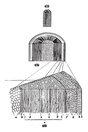 This image of an inner part of stems. Its showing an internal part of stems, vintage line drawing or engraving illustration.