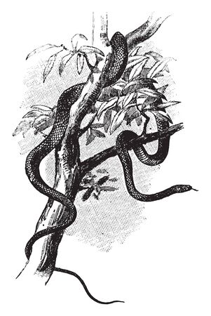 Tree Asp is about 6 feet long slender and a good climber and its color is olive brown washed with green, vintage line drawing or engraving illustration.