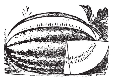 This is image of watermelon. The watermelon is type of fruit, it has grown in ground. It is big and round shape. The upper part is rigid and the inner part is soft, vintage line drawing or engraving illustration.