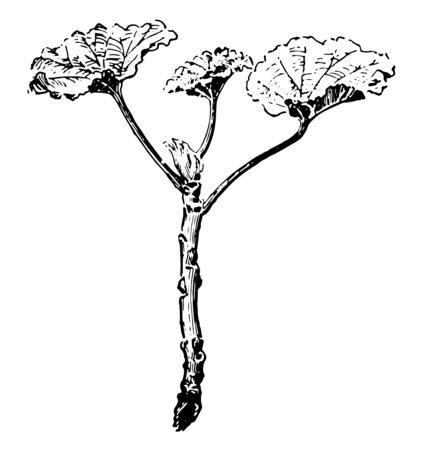 An image of Geranium cutting which is ready for planting, Geranium is a genus of 422 species of flowering annual, biennial, and perennial plants, vintage line drawing or engraving illustration. Vettoriali