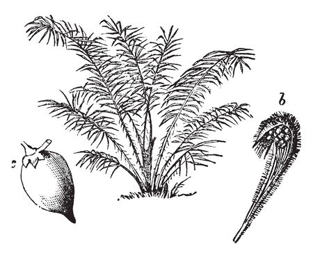 A picture showing Steamless palm, spadix with spathe forming a hood over fruit and a fruit, vintage line drawing or engraving illustration.