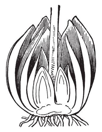Wild lilies are divided length wise as shown in picture cross section of wild lily showing petals, stamens and style, vintage line drawing or engraving illustration.