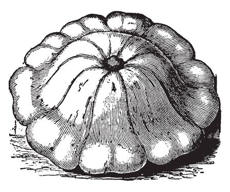 In this frame there is a white bush squash. This white bush squash is also known as White patty pan, this is a very fast growing White Bush Squash. The fruit is white, vintage line drawing or engraving illustration.