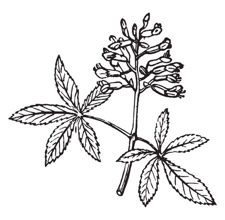 Red Buckeye is a species of Sapindaceae flowering plant. It is a large shrub plant. The Red Buckeye leaves are compound with five leaflets and long petiole, vintage line drawing or engraving illustration.