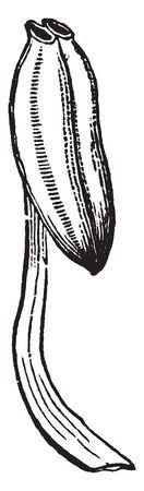 Una imagen que muestra los estambres de Pyrola en la que las células se abren por un orificio terminal, línea vintage de dibujo o ilustración de grabado. Ilustración de vector