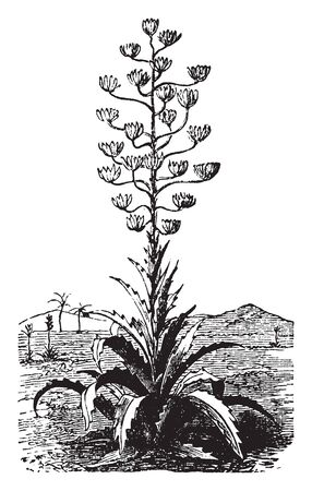 A picture showing the plant of Pita which is a strong and silky cactus capable of being dragged to the threads, vintage line drawing or engraving illustration. Illusztráció