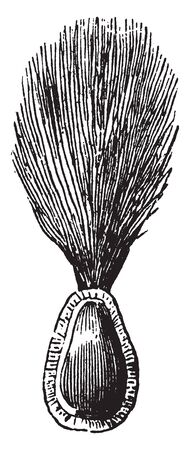 Image of milkweed seed, with herd of silk hair at one side, vintage line drawing or engraving illustration.