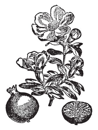 This image shows flowers of pomegranate plant, vintage line drawing or engraving illustration.