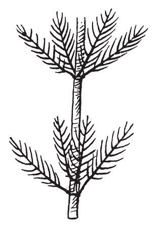 Picture of Myriophyllum plant. Myriophyllum is a genus of about 69 species of freshwater aquatic plants, with a cosmopolitan distribution. Plants are Monoecious or Dioecious, the flowers are small, vintage line drawing or engraving illustration.