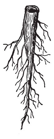 This image showing a tap root, it long and thick, it grows underground. The lateral roots have increased. The lateral roots are thin and short, vintage line drawing or engraving illustration.