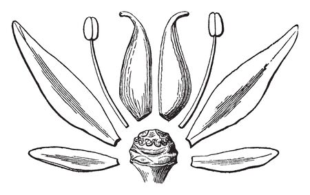 A picture describing the various parts of Sedum Ternatum such as a sepal, a petal, a stamen and a pistil, vintage line drawing or engraving illustration. 向量圖像