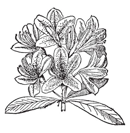 This pictures showing a rhododendeon. Each leaves growing separately. The flower grows into bunch. The clusters are different colored. This is from Ericaceae family, vintage line drawing or engraving illustration. Banque d'images - 132953465