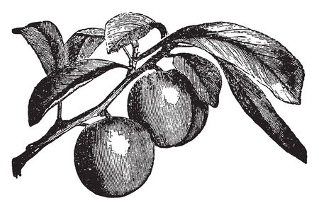 A class of fruit trees belonging to the same genus as the apricot, almond, peach, and cherry, and cultivated in all countries, vintage line drawing or engraving illustration.