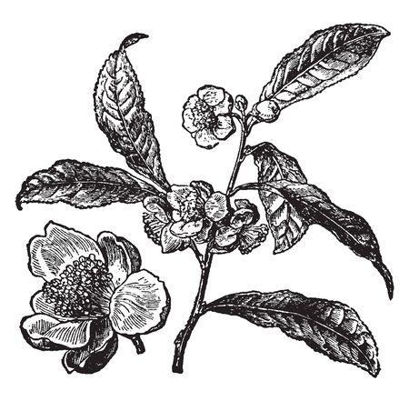 Tea plant leaves and flowers are borne on stem. A leaf is lanceolate shaped and alternate arranged, vintage line drawing or engraving illustration. Иллюстрация