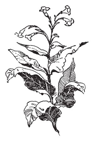 It is showing a Tobacco plant from the Native Americans, vintage line drawing or engraving illustration.