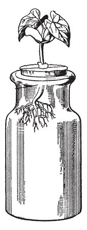This is a plant of bean and plant is sorted into a jar, vintage line drawing or engraving illustration. Çizim
