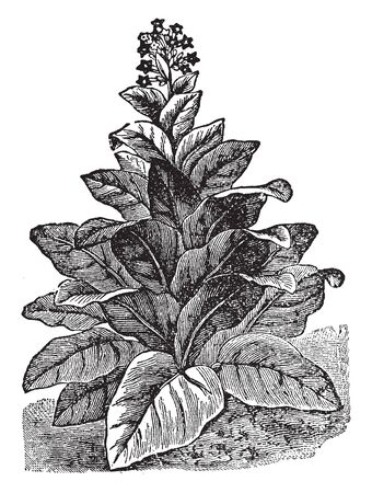 Tobacco is a cultivated plant, and Tobacco contains the alkaloid nicotine, vintage line drawing or engraving illustration.
