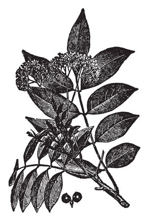 This is branch of Quassia and it is Native to Brazil. Its leaves are oval shaped, vintage line drawing or engraving illustration.