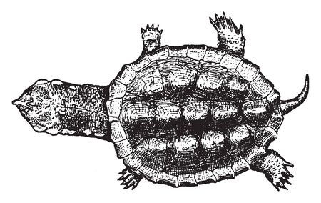 Turtles are reptiles of the order Testudines characterised by a special bony or cartilaginous shell developed from their ribs and acting as a shield, vintage line drawing or engraving illustration.