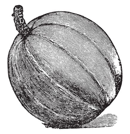 A pumpkin is cultivar of squash plant, most commonly of Cucurbita Pepo that is round, with smooth, slightly ribbed skin, & deep yellow to orange coloration. The thick shell contains the seeds & pulp, vintage line drawing or engraving illustration. 向量圖像