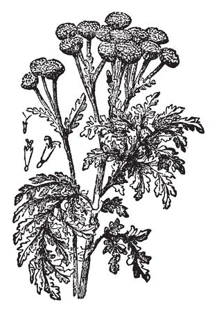 The Tansys leaves are alternate, toothed edges. Flowers is rounded heads are produced in clusters, vintage line drawing or engraving illustration.