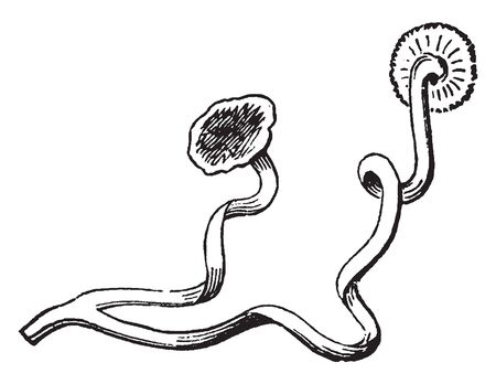In botany, a tendril is a specialized stem, leaves or petiole with a threadlike shape that is used by climbing plants for support, attachment and cellular invasion by parasitic plants, vintage line drawing or engraving illustration. Ilustrace