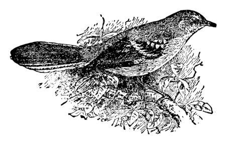 Mocking bird truly astonishing and handsome songbird vintage line drawing. Фото со стока - 132954990