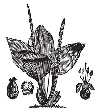 A picture of Plantain.  For the fruit also called plantain, see cooking plantain, vintage line drawing or engraving illustration.