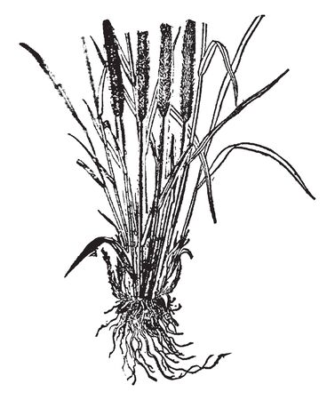 This picture is of timeless grass. The leaves are hairless, and the lower sheaths turn dark brown, vintage line drawing or engraving illustration. 向量圖像