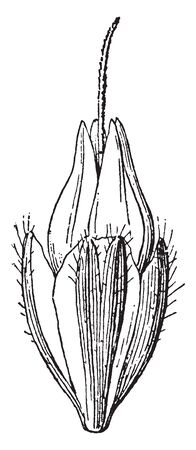 This is a picture of plantain flower of Bud. The anther growing on bud, the bud covered by hairy sepal, vintage line drawing or engraving illustration. Иллюстрация