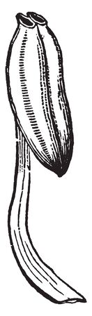 A picture showing stamens of Pyrola in which cells open by a terminal hole, vintage line drawing or engraving illustration.