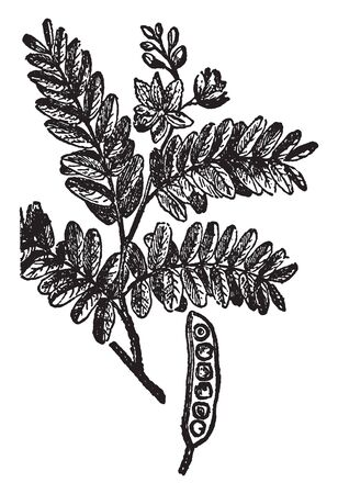 The tamarind tree is leguminous, and is part of the Fabaceae family. Its fruit is called an indehiscent legume, which means it doesnt open naturally at maturity, but remains closed, vintage line drawing or engraving illustration. Иллюстрация