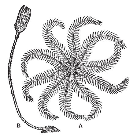 Rosy Feather Sea Star whose arms are soft and hairy like a feather, vintage line drawing or engraving illustration.