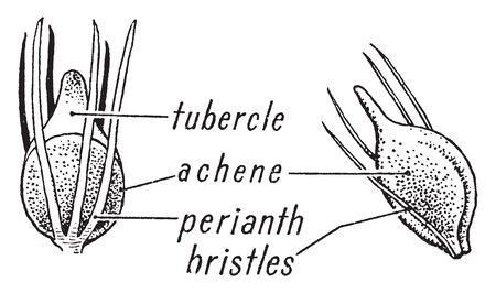 Picture of Sedge morphology grass. Picture shows its tubercle, achene, perianth and bristles part. Leaves are spirally arranged in three ranks, vintage line drawing or engraving illustration.