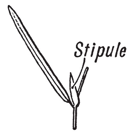 A picture shows the Stipule of flowering Plant. It can be fused to the stem, sometimes it is considered as bud. Petiole is present at the base of the leaf, vintage line drawing or engraving illustration. Ilustração