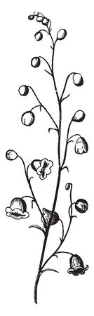 A picture showing a panicle. A panicle is a much-branched inflorescence, vintage line drawing or engraving illustration.