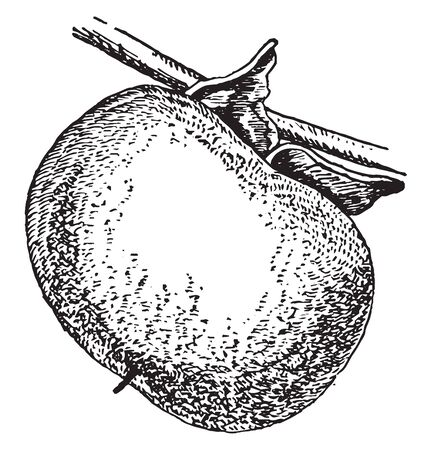 This is the Persimmon Fruit. It looks like Tomato. It has needle like fiber at its apex. This fruit is connected to its stem. Dry-leaf is present at the base of the fruit, vintage line drawing or engraving illustration.