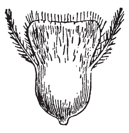 In this frame the grass pistil is shown. The seeds were prepared from the pistil, vintage line drawing or engraving illustration.