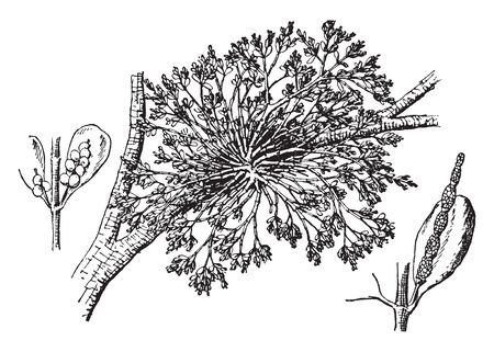 American Mistletoe is a parasitic plant, also known as European mistletoe (Viscum album).American mistletoe is used as a smooth muscle stimulant to increase blood pressure, vintage line drawing or engraving illustration.